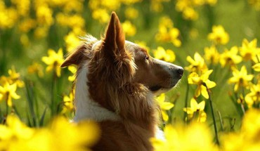 Collie in Wiese  HD wallpaper