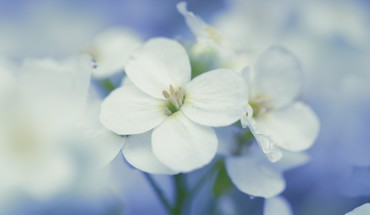Nature flowers macro white HD wallpaper