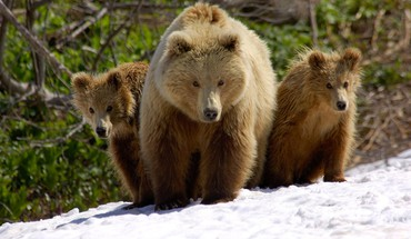 Nature snow animals cubs bears HD wallpaper
