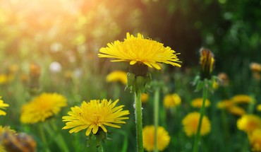Nature flowers dandelions HD wallpaper