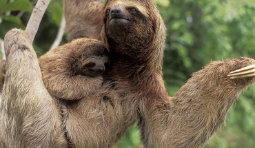 Animals sloth HD wallpaper