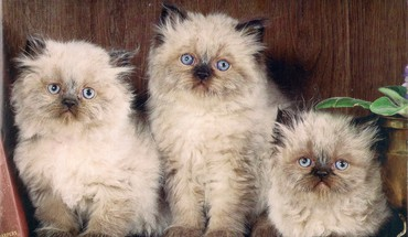 Three little kittens HD wallpaper