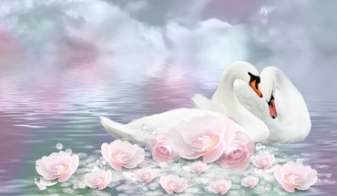 Swan romance HD wallpaper