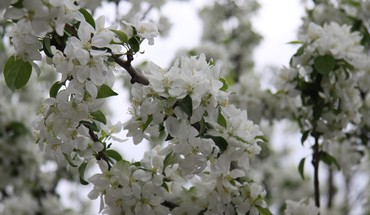 Tree blooms HD wallpaper