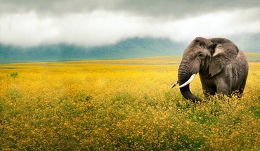 Tanzania elephants fields mammals yellow flowers HD wallpaper