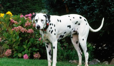 Animals dogs dalmatians HD wallpaper