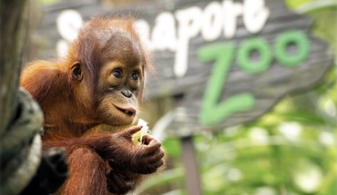 Animals baby orangutans HD wallpaper