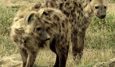 Animals hyenas HD wallpaper