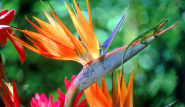 Flowers bird of paradise HD wallpaper