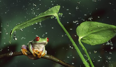 Rain frogs red-eyed tree frog shelter amphibians HD wallpaper
