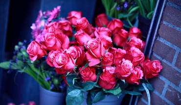 Roses for u HD wallpaper