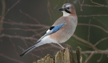 Germany jays birds HD wallpaper