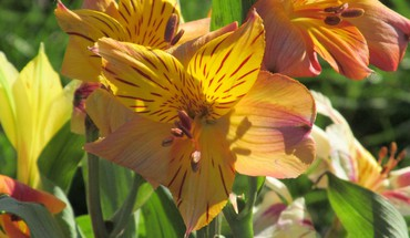 Sunshine lillies HD wallpaper