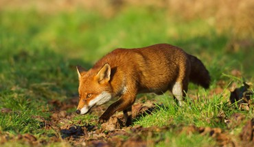 Animals foxes HD wallpaper