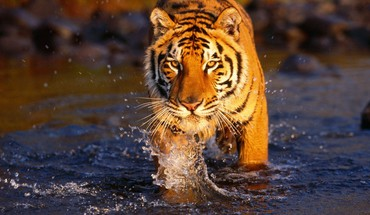 Bengal tigers animals creek crossing HD wallpaper