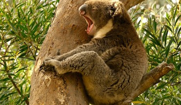 Nature trees animals koalas yawns HD wallpaper