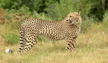 Cheetah on the savannah HD wallpaper