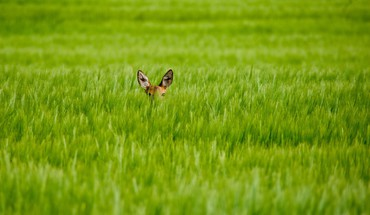 Animals grass fields deer fawn baby hidden HD wallpaper