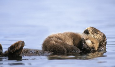 Animals alaska otters gulf baby sea HD wallpaper