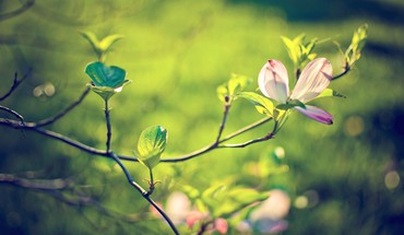 Blossoms flowers nature HD wallpaper