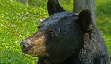 Animals black bear HD wallpaper