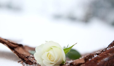 Winter white roses HD wallpaper
