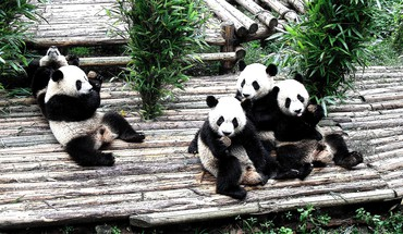 Animals panda bears HD wallpaper