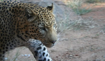 Leopard iki cloes  HD wallpaper
