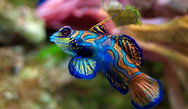 Fish mandarinfish HD wallpaper