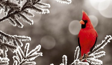 Northern cardinal bird HD wallpaper