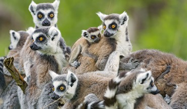 Lemurs family HD wallpaper