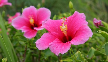 Hawaii hibiscus pink flowers HD wallpaper