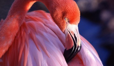 Pink birds animals flamingos HD wallpaper