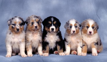 Animals australian shepherds blue background dogs nature HD wallpaper