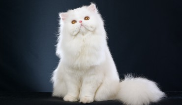 Persian cat HD wallpaper