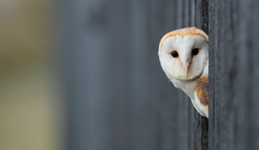Animals owls HD wallpaper