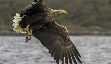 Scottish eagles white HD wallpaper