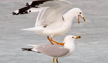 Birds animals seagulls HD wallpaper