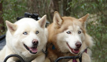 Animals dogs eyes husky HD wallpaper