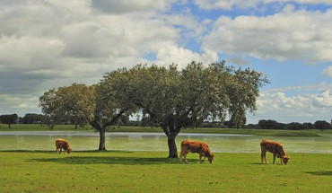 Clouds trees cows HD wallpaper