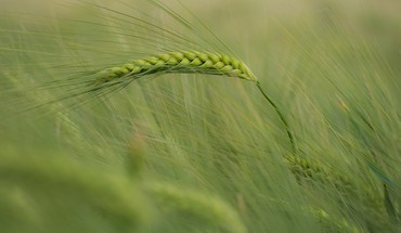 Wheat depth of field spikelets HD wallpaper