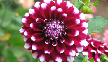 The splendiferous dahlia HD wallpaper