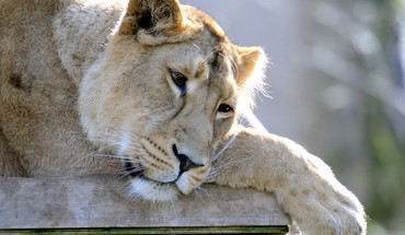 Animaux lions tristes  HD wallpaper