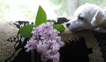 Poodle enjoying scented lilac HD wallpaper