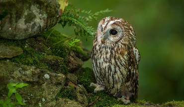 Birds owls moss HD wallpaper