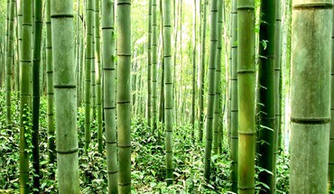 Bamboo grove HD wallpaper