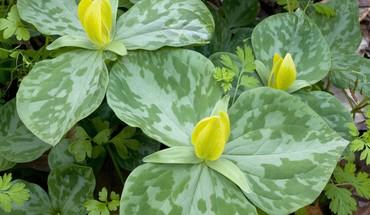 Flowers trillium lilies yellow HD wallpaper