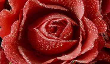 Roses rouges  HD wallpaper