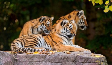 Animals tigers wildlife HD wallpaper