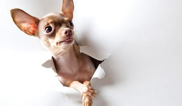 Animals curious dogs chihuahua HD wallpaper
